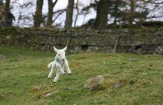"Lambs! Spring lambs! Spring lambs ""sproinging!"""