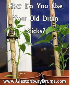 Chilli Plant, Drum Lessons, Drums, Sticks, Plants, Percussion, Drum, Plant, Drum Kit