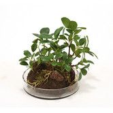 Features:  -Dominant foliage: Ficus.  -Modern style.  -Round glass.  -Made in the USA.  Product Type: -Tree.  Plant Type: -Ficus/Foliage.  Orientation: -Floor.  Plant Material: -Silk.  Base Included:
