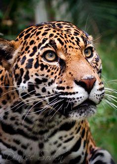 What a beautiful leopard Pretty Cats, Beautiful Cats, Animals Beautiful, Jungle Animals, Animals And Pets, Cute Animals, Big Cats, Cute Cats, Cross Eyed Cat