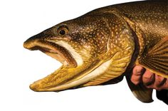 How to Score a Lake Trout From Shore:: No boat? No problem. Big lake trout feed close to the bank in early spring.