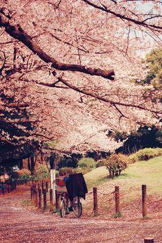 Sakura, pink, cherry blossom, japan