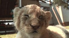 This lion who is too sleepy to keep his tiny lion head up.