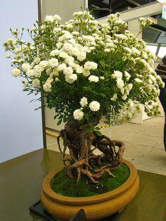 Bonsai of rose