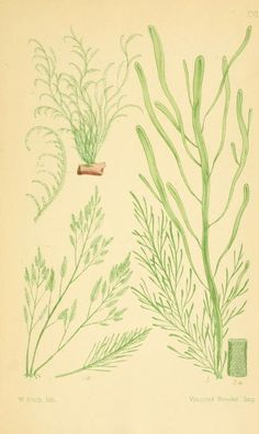 British sea-weeds : an introduction to the study of the marine algae of Great Britain, Ireland, and the Channel Islands / by Samuel Octavus Gray, illustrated by Walter Fitch, p. 1867