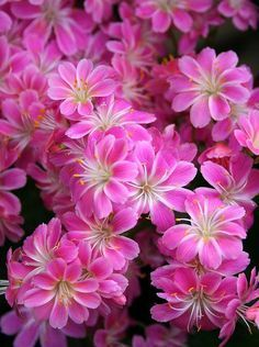 Lewisia beautiful flowers.