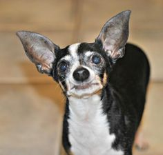 Steve is an adoptable rat terrier searching for a forever family near Spring Lake, NJ. Use Petfinder to find adoptable pets in your area.