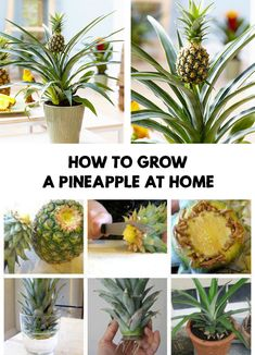 If you want to know how to grow a pineapple at home, read this article It's a simple and fun process. How to grow a pineapple at home Fruit Plants, Fruit Garden, Growing Seeds, Growing Plants, Rockery Garden, Pineapple Planting, Vegetable Garden Tips, Gardens, Vegetable Gardening