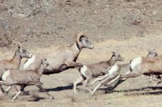 Group of American bighorn sheep running in grass. 1958-1988. W. & G. Garst Photographic Collection, University Archive, Archives and Special Collections, CSU, Fort Collins, CO