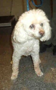~ Animal ID #A0589830 *** 14+ Year Old SENIOR ALERT!!! *** ‒ My Name is SALLY. I am a Female (Spayed), White Miniature Poodle. The shelter thinks I am about 14 years and 8 months old. I have been at the shelter since May 18, 2015. Orange County Animal Care Center ‒ (714) 935-6848 561 The City Drive South Orange, CA Fax: (714) 935-6373 https://www.facebook.com/OPCA.Shelter.Network.Alliance/photos/pb.481296865284684.-2207520000.1432226201./823591017721932/?type=3&theater