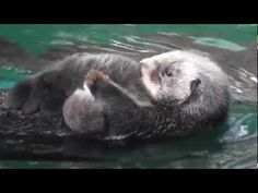 A new Sea Otter was born at the Seattle Aquarium on 1/14/2012.  When this video was shot on 1/15, the Otter pup was 1 day old.  More info here: http://blog.seattleaquarium.org/marine-animals/aniaks-pup-has-arrived/  MENU  sleeping on mom's tummy 0:00  mom re-positions pup nose to nose 4:28  mom puts pup up on the ledge 5:50  pup sits on ledge cu...