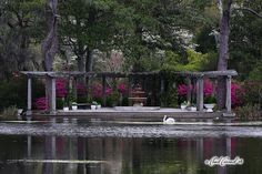 Swans at Airlie Gardens in Wilmington, NC