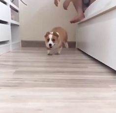 Corgi Running at You