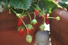 Cómo cultivar frutillas en macetas