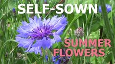 How to grow summer flowers in you kitchen garden. Self-sown summer flowers. How to become self-sufficient on less than 1 acre. Growing Veggies, Summer Flowers, Acre, Countryside, How To Become, Self, Garden, Kitchen, Plants