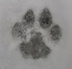 Animal tracks are criss-crossing my yard, field and forest. Writing in code they tell the tale of unseen visitors.    When you study nature it is...