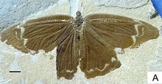Jurassic butterflies disappeared a full 45 million years before the first caterpillar decided to grow up and become a beautiful butterfly. Extinct Animals, Prehistoric Animals, Butterfly Park, Living Fossil, Fossil Hunting, Dinosaur Fossils, Fauna, Beautiful Butterflies, Natural History