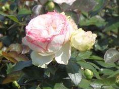 Zwergrose 'Biedermeier' ® - Rosa 'Biedermeier' ®