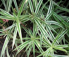 'Sparkler' palm sedge, shown here, is one of dozens of grasslike plants in the sedge family. Virtually all love moist to wet soils, and most prefer shade or partial shade. They make a great low-growing ornamental groundcover.