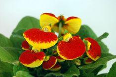 Calceolaria Plant Care | Calceolaria herbeohybrida