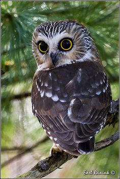 Saw-whet Owl by Earl Reinink ….My what big eyes you have Mr. Beautiful Owl, Animals Beautiful, Cute Animals, Lovely Eyes, Pretty Eyes, Wild Animals, Beautiful Pictures, Owl Photos, Owl Pictures