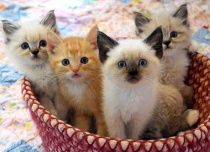 Adorable basket of kittens.