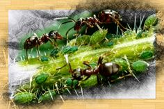 Natural Aphid Killer: How to Control Aphids in a Pesticide Free Garden Grow Turmeric, Easy Herbs To Grow, Basil Plant, Perennial Vegetables, Garden Markers, Garden Pests, Fruit Trees, Pest Control, Container Gardening