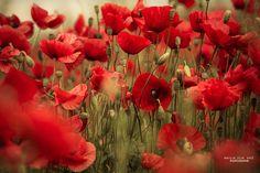 Poppy by Nailia Schwarz on 500px