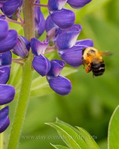 Bee and flower photo, 5x7,8x10, 12x18, nature photograph, Honey bee, purple Lupin flower, photography, insect photo, wall art, home decor