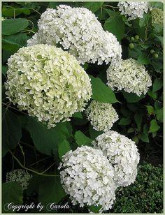 """White Hydrangea """"Annabelle"""""""