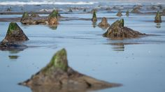The submerged forest of Borth, Wales was first flooded some 5,000 years ago by rising seas after the last ice age; it has been there, coming and going with the tides and occasionally disappearing for years. The floods/storms that battered Britain this year changed the way archaeologists interpret the landscape: A saltwater channel cutting through the trees, revealed by erosion for the first time, provided clues to where human life may have been concentrated and where its traces may yet be…