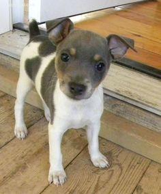 Cute rat terrier