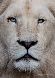 Google Image Result for http://www.animusphotography.com/wp-content/gallery/white-lions/3078014-2-stare.jpg