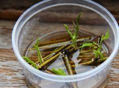 L'eau de Saule : Hormone de bouturage naturelle ! | Conseils de jardinage pour jardiniers et curieux de nature