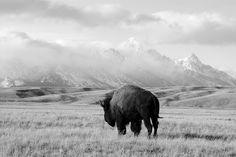 Bison and the Tetons. National Elk Refuge, Jackson Hole, Wyoming Ryan Bailey @Smithsonian Magazine