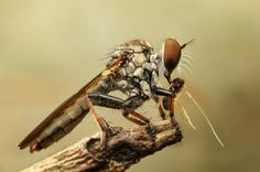Robberfly and prey Animals, Animales, Animaux, Animal, Animais