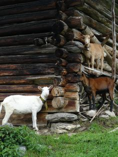 Goats trying to seek shelter from rain .goats DO NOT like the rain . Country Farm, Country Life, Country Living, Farm Animals, Cute Animals, Goat Farming, Farms Living, Mundo Animal, All Gods Creatures
