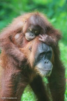 Orangutans. The baby is hanging on to it's mom in such a loving way, like he…