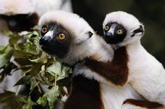 This March 24, 2010 photo released by the Wildlife Conservation Society shows Ares, a male baby coquerel's sifaka, clinging to his mother Kate's back in the Bronx Zoo's Madagascar! exhibit.