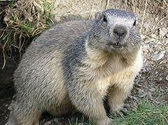 Świstak, świstak alpejski (Marmota marmota) – gryzoń z rodziny wiewiórkowatych.