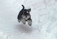 In reality, the miniature schnauzer is the only terrier not originating from European isle stock.