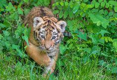 Tigerbaby  Zoo Duisburg  (6)