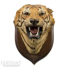 C.1900S ROWLAND WARD – TAXIDERMY TIGER HEAD – (PANTHERA TIGRIS)