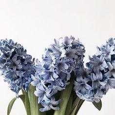 Reposting @_justcallmemademoiselle_: • Let's start a Monday with flowers ✨🌸🌷🌹🌻🌼💐• Have a lovely day mes chats, si vous avez du soleil profitez bien - moi c'est 🌧☔️🌨 😘 . . . . #monday #mondaymotivation #mondaymood #mydiary #myeveryday #myeverydaydiary #myfashiondiary #flower #floweraddict #floweraddiction #hyacinth #purplehyacinth #bloom #blooming #colors #contrast #minimal #minimalism #minimalist