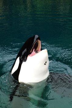 """www.pegasebuzz.com   Orca, orque, killer whale, black fish. Keiko or """"Free Willy""""."""