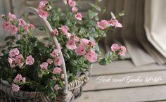 ディアスシア・ダーラ 『ライトピンク』 シンジェンタさん新品種 | すべての商品 | | Junk sweet Garden tef*tef* ガーデニング雑貨・花苗