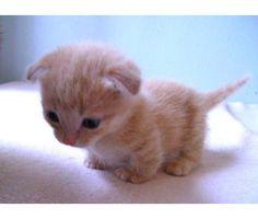 Ahh too cute! A Scottish Fold Munchkin Kitten XD