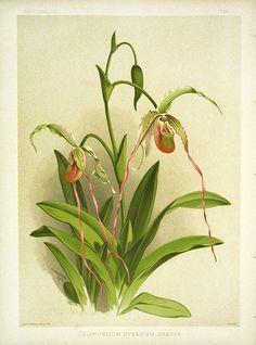 Selenipedium Hybridum Orande