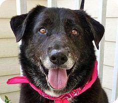 Baton Rouge, LA - Border Collie/Labrador Retriever Mix. Meet Snooks, a dog for adoption. http://www.adoptapet.com/pet/11649633-baton-rouge-louisiana-border-collie-mix