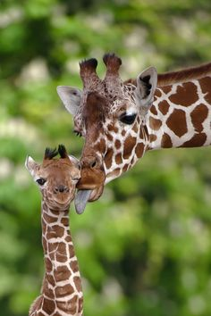 OMG......I love giraffes, so cute.